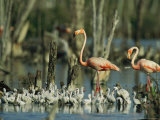 Pair of Flamingos and a Flock of Chicks in a Rookery