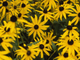 Group of Black Eyed Susans Bloom in a Cluster