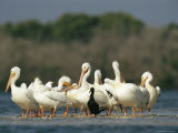 American White Pelicans and a Cormorant Standing on the Shoreline