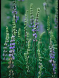 Lupines in Yosemite National Park