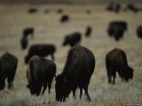 Herd of Bison Graze on the Prairie at Twin Pine Ranch