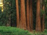 Trunks of Giant Sequoia Trees in the Mariposa Grove