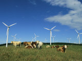 Cattle in a Field with Rows of Windmills