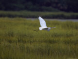 White Heron in Flight over Marsh Grasses