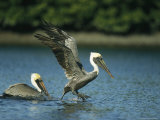 Pair of Brown Pelicans Land on a Salt Water Lagoon