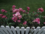 Pink Roses Growing Along a Wooden Fence