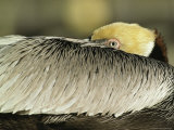 Brown Pelican with Its Head Tucked Behind Its Wing
