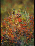 Camouflaged Willow Ptarmigan Among Autumn Colored Foliage