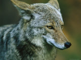 Portrait of a Coyote with Its Ears Laid Back