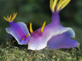 Pair of Bullock's Chromodoris Nudibranchs