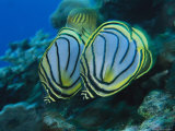 Pair of Meyer's Butterflyfish Swimming Along a Reef Wall