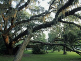 Live Oak Trees Draped with Spanish Moss