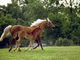 Mare Runs with Her Foal Through a Pasture