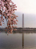 Cherry Blossoms Frame the Washington Monument