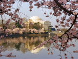 Cherry Blossoms Frame the Jefferson Memorial Across the Tidal Basin
