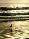 Gull Stands in the Atlantic Ocean&#39;s Surf at Sunset