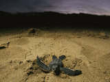 Baby Leatherback Turtle Scurrying For Waters' Safety After Hatching
