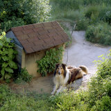 Collie Relaxes Next To Its Doghouse