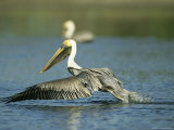 Brown Pelican Takes Flight From a Salt Water Lagoon