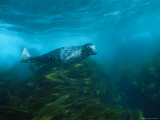 Gray Seal Swims Through Thickets of Kelp