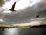 Gulls Soar Above the Sailboats on San Francisco Bay