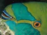Close View of the Eye and Mouth of a Singapore Parrotfish