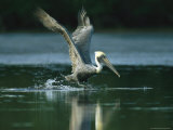 Brown Pelican Lands on a Salt Water Lagoon