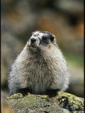 Portrait of a Hoary Marmot Sitting on a Lichen Encrusted Rock