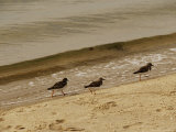 Three Sandpipers Walking at Surf's Edge