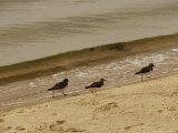 Three Sandpipers Walking at Surf's Edge