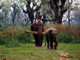 Elephants Returning to Elephant Breeding Centre in Sauraha