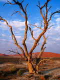 Dead Thorn Tree with Giant Sand Dunes in Distance  Near Sossusvlei