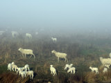 Overhead of Lambs in Morning Mist