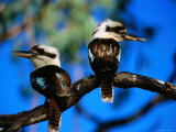 Blue-Winged Kookaburras  One with Gecko  in Gulf Savannah