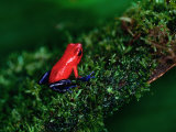 Poison Arrow Poison Dart Frog Strawberry Frog  Dendrobates Pumilio
