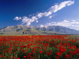 Field of Flowers  Around Lake Van
