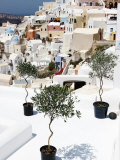 Olive Trees Overlooking Houses