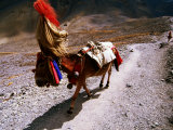 Mule in Headdress Walking Along Path