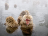 Japanese Macaque in Natural Onsen  Jigokudani Monkey Park