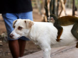 Juvenile Squirrel Monkey Riding on a Young Dog's Back at an Animal Rescue Centre on the Nanay River