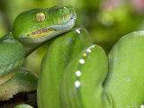 Green Tree Python  Merauke