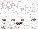 Bison in a Snow Storm Papier Photo par Mark Newman