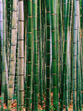 Grove of Bamboo  Sagano District