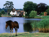 New Forest Pony by Pond