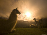 Llama and Clearing Mist Along Inca Trail