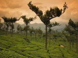 Trees Planted Amongst the Tea Bushes to Hold the Soil in Place
