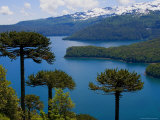 Araucaria Trees Above Lago Conguillio
