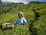 Tamil Teapicker Working in a Tea Plantation