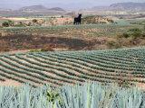 Agave Fields Near Guadalajara