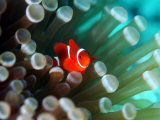 Tiny Fish Among the Tentacles of a Sea Anemone in the Reefs of Malaysia